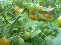 Sungolds_2